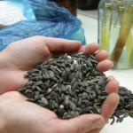 Россельхознадзор задержал более 90 тонн семян из Казахстана