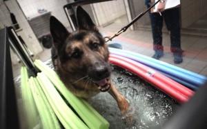 Собаку натренировали определять рак по запаху