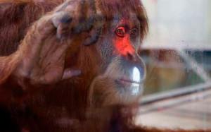 Microsoft «подсадила» орангутангов на Xbox