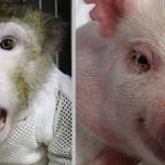 Сердце свиньи пересадили обезьяне