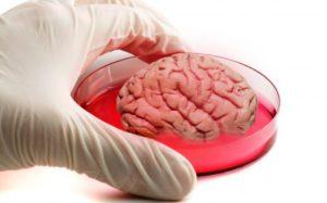 Сингапурские ученые вырастили в лабораторных условиях мини-мозг