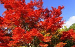 В Японии начинается сезон красных кленов