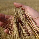 """Сибирские ученые """"научили"""" смартфон считать зерна в колосе по фотографии"""