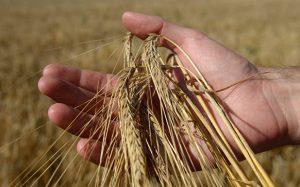 Сибирские ученые «научили» смартфон считать зерна в колосе по фотографии