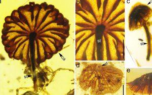Палеонтологи обнаружили в Мьянме ископаемые мухоморы возрастом 100 млн лет