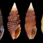Российские и французские зоологи открыли новые виды ядовитых моллюсков