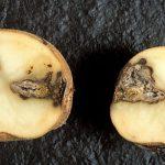 Заболевания и вредители картофеля