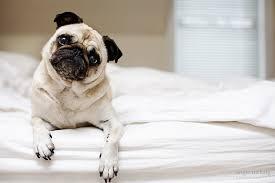 Мопс — забавный пёс и верный друг