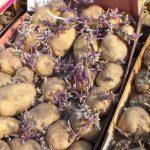 Как получить богатый урожай картофеля?