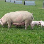 Какую породу свиней выгодно разводить в хозяйстве?