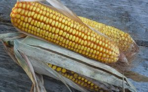 Сахарная кукуруза на приусадебном участке