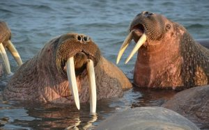 У побережья Чукотки моржи устроили лежбище впервые за десять лет