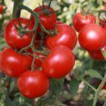 Выращивание помидоров и баклажанов, особенности и советы