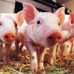 Весы для свиней: основные особенности, назначение и где приобрести на Украине?