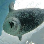 В Японии милый и толстый тюлень стал звездой океанариума