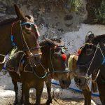 Туристам с лишним весом запретили эксплуатировать ослов на Санторини