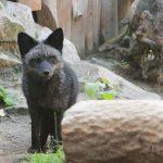 В Великобритании нашли редкую серебристую лису