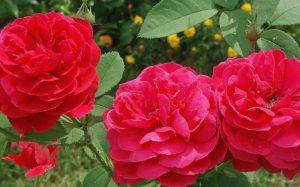 Душистая кустарниковая роза «Madame Ball»