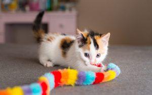Уход за котёнком и его воспитание