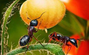 Как вывести муравьев из сада и огорода?