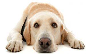 Возможна ли аллергия у собак на ошейник. Как с ней бороться