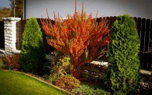 Барбарис – растение для дизайна сада
